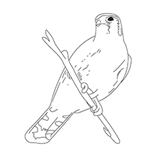 Chipping Sparrow Coloring Page