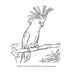 Parrot Coloring Pages - Cockatoos