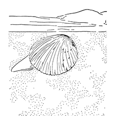 Clam Coloring Page - Cockle Clam