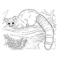 Lemur Coloring Page - Coquerel's Sifaka