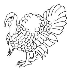 Domestic Turkey 17