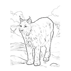 Eurasian Lynx Coloring Page