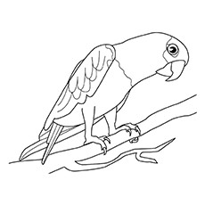 Coloring Sheet of Hawk Headed Parrot