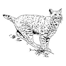 Iberian Lynx Coloring Page