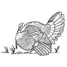 Merriam's Wild Turkey Picture to Color