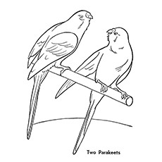 Parakeets Parrot Printable to Color