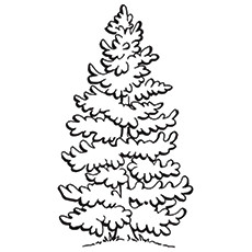 Pine Tree Coloring Pages For Kids
