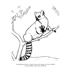 Ring Tailed Lemur Coloring Page