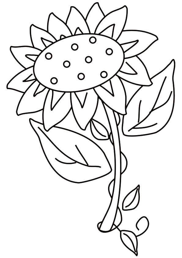 Solara-Sunflower