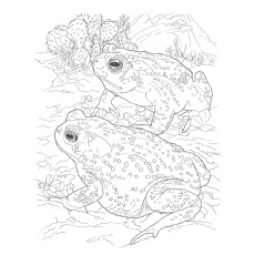 Coloring Page of Sonoran Desert Toad Frog
