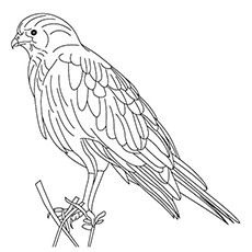 sparrow hawk coloring pages