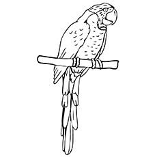 coloring pages thick billed parrot
