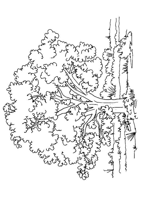 Wild-Oak-Tree
