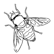 Coloring Sheet Of Buff Tailed Bumblebee