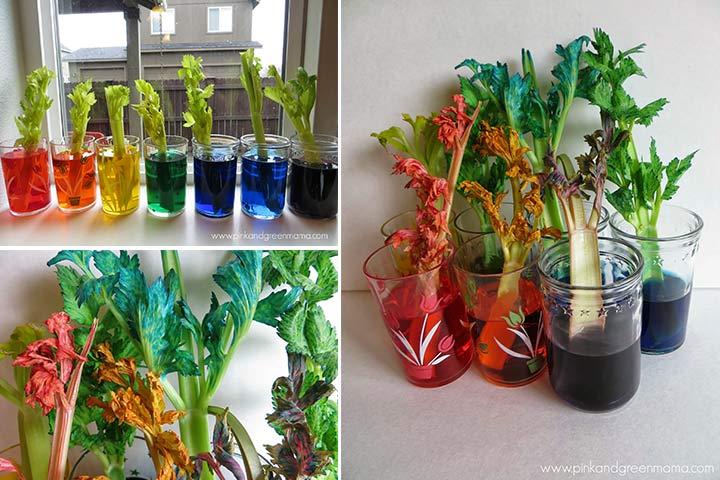 Rainbow Facts For Kids- Rainbow Celery Experiment