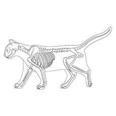 15 Best Skeleton Coloring Pages For Your Toddler Rh Momjunction Com Cat Anatomy Diagram Domestic