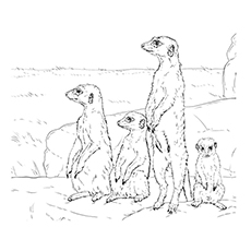 meerkat coloring pages meerkat with a group