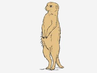 Top 10 Meerkat Coloring Pages