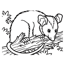 Possum Coloring Pages