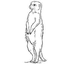 meerkat coloring pages standing upright