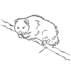 Coloring Pages of Virginia Possum Printable