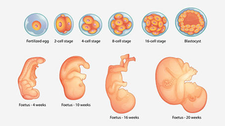 Fetal Development Week By