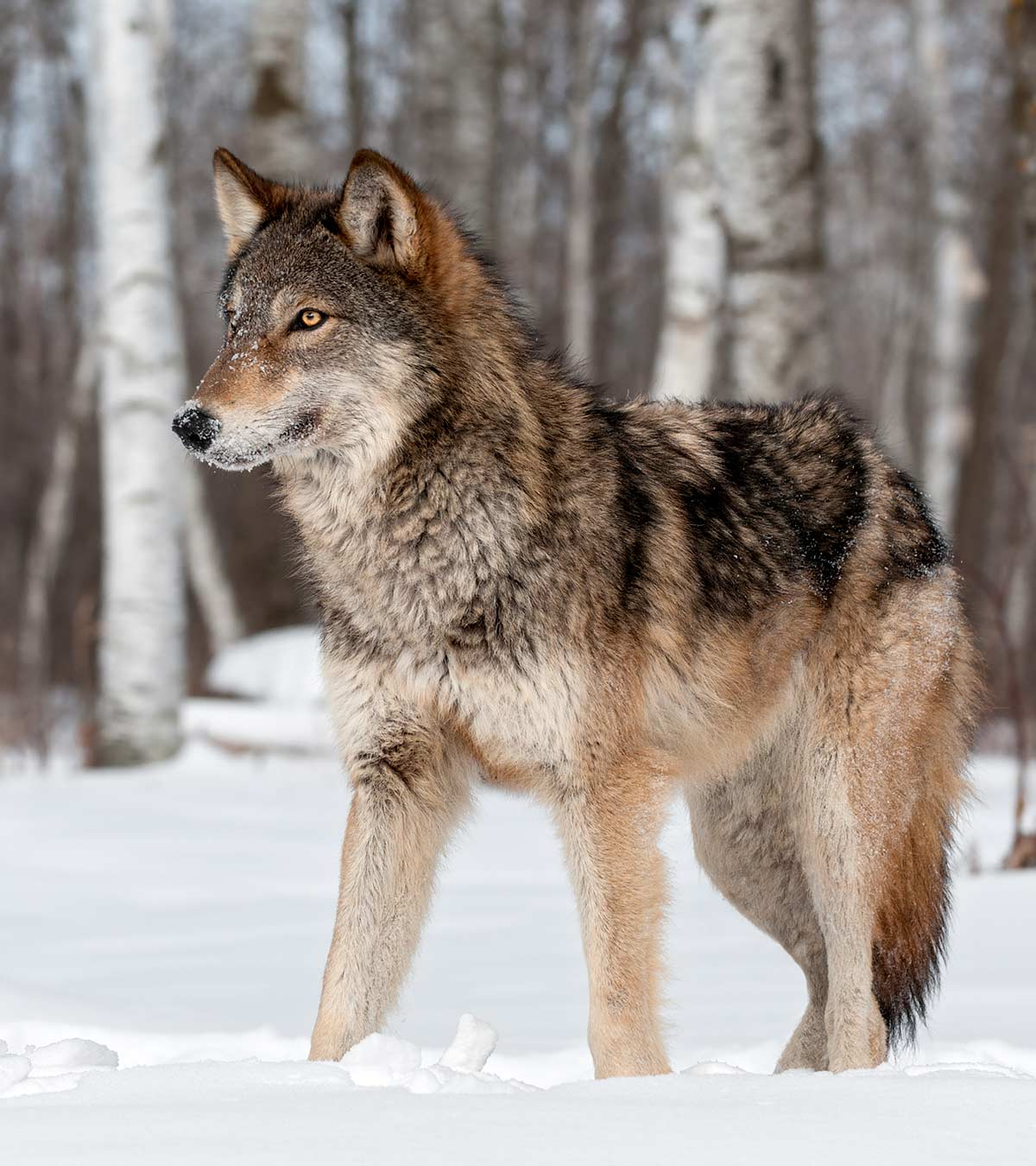 25 Unknown Wolf Facts And Information For Kids