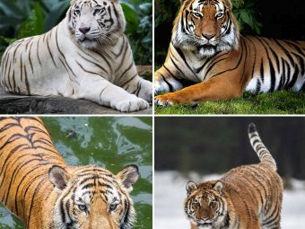 87 Fascinating Tiger Facts For Kids