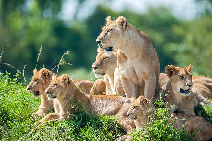 Are Lions At Risk