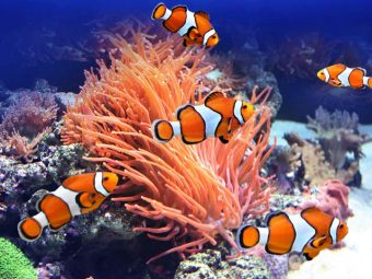 15 Fascinating Clownfish Facts And Information For Kids