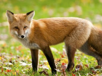 Fascinating Facts And Information About Fox For Kids