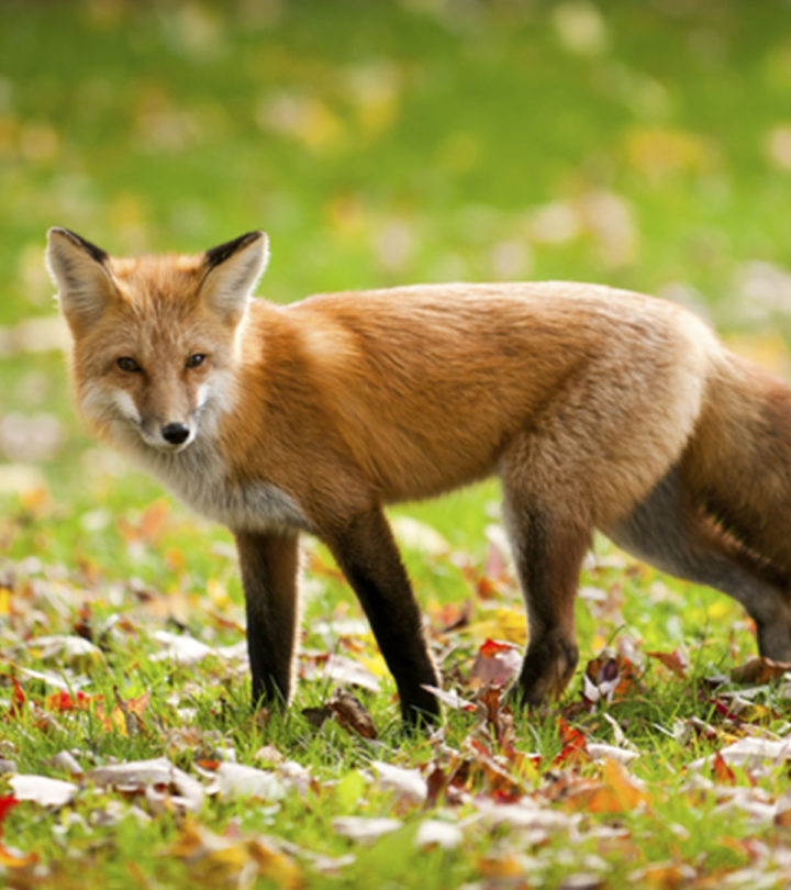 Fox Facts For Kids