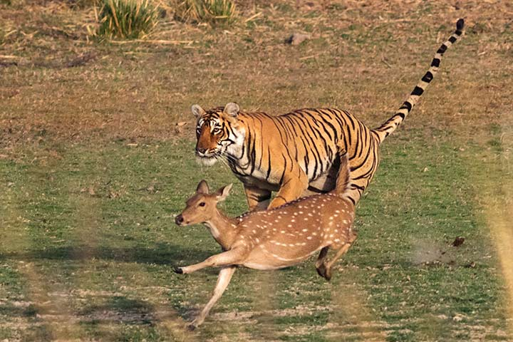 Less than 10% of tigers can hunt successfully.