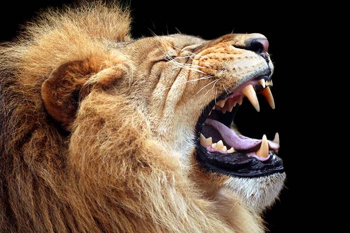 Lions have a denture