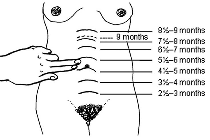 Uterus during pregnancy its size changes and role 2 measuring the fundal height using finger method ccuart Image collections
