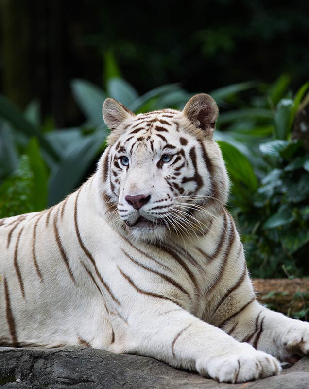 88 Fascinating Tiger Facts For Kids