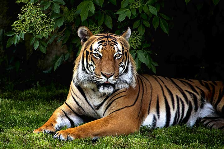 Sumatran Tiger Facts