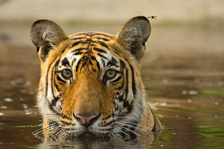 Tigers are great swimmers