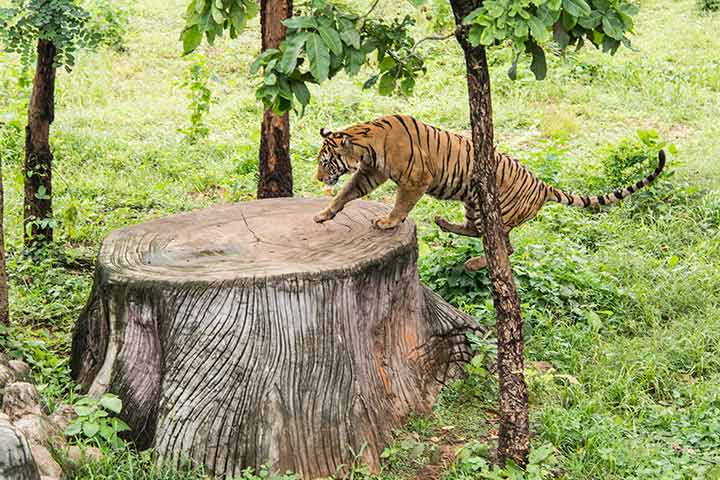 Tigers can easily jump over 5m high.