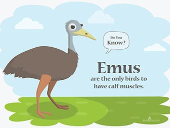 30 Interesting Emu Facts And Information For Kids