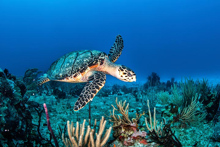 Why Are Sea Turtles Vital To The Eco-system