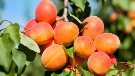 Apricots-For-Babies-Benefits,-Recipes,-And-More-About-The-Wonder-Fruit-fetur