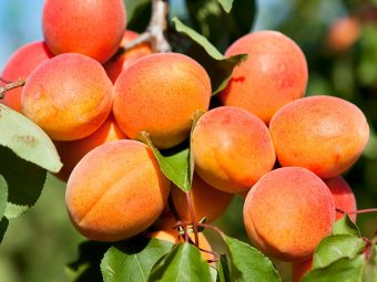 Apricots For Your Baby: Benefits, Recipes, And More About The Wonder Fruit