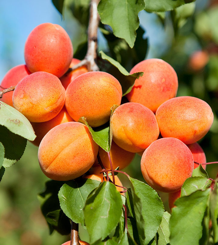 Apricots For Baby