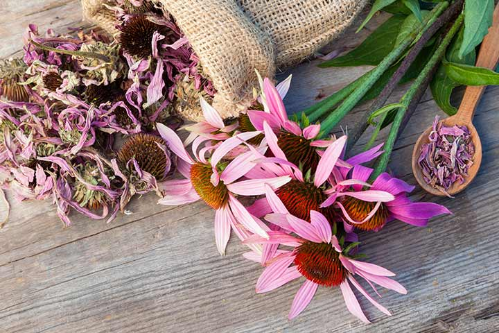 Echinacea For Babies