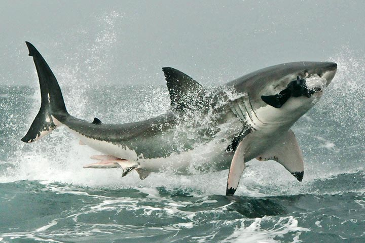 Hunting Behavior Of Great Whites