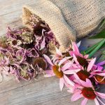 Is-Echinacea-Safe-For-Your-Baby