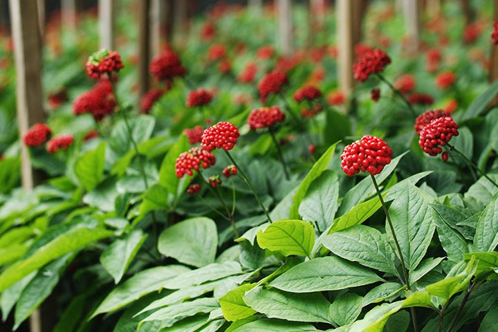 How Safe Is Ginseng While Breastfeeding