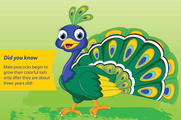 Peacock Facts And Information For Kids