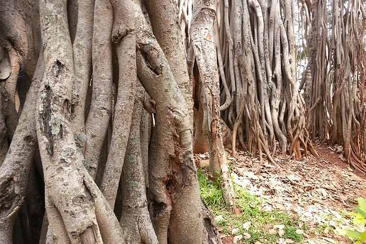Big Banyan Tree or Dodha Aladha Mara